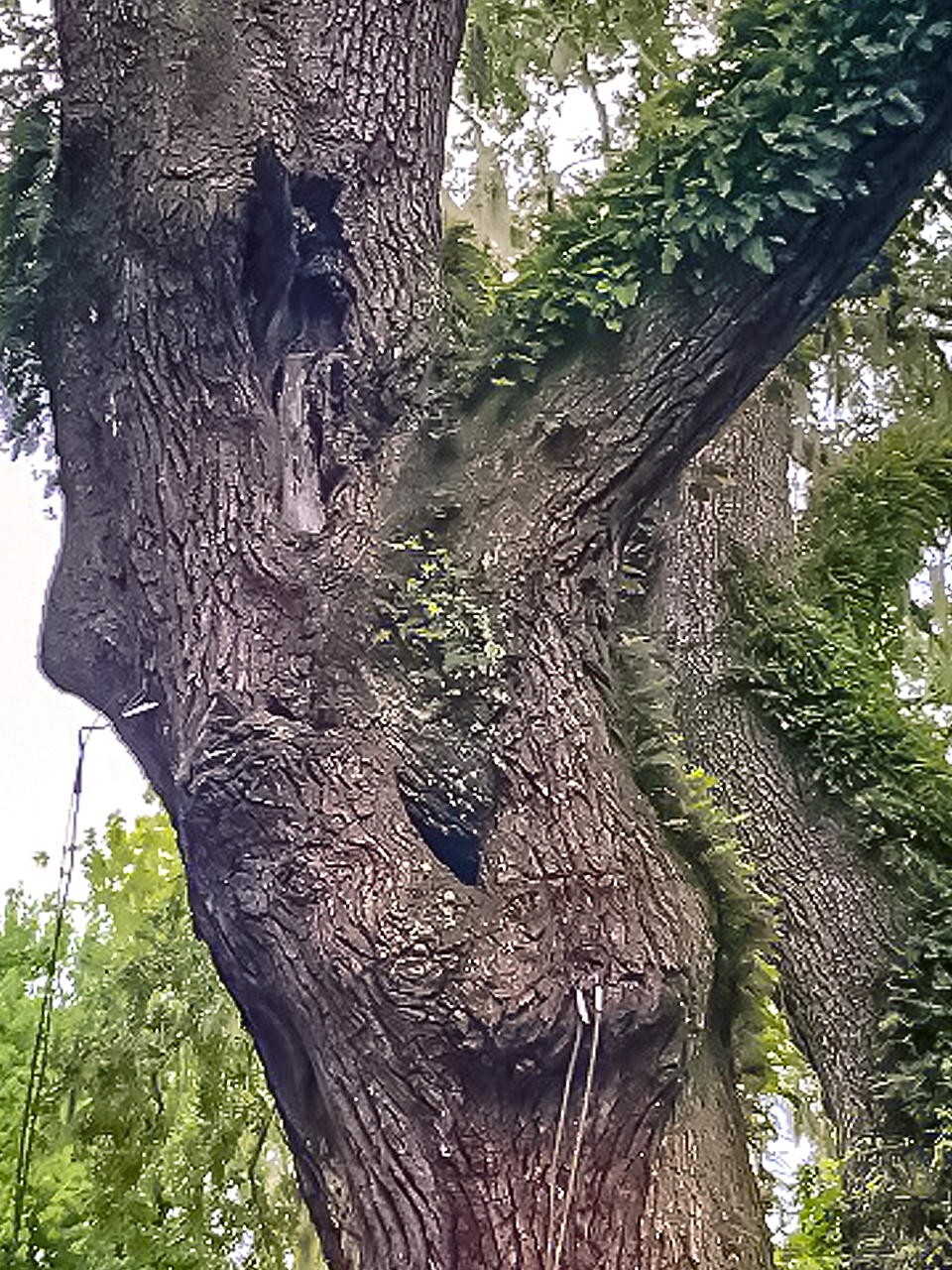 This branch has a cavity that may contain extensive decay.