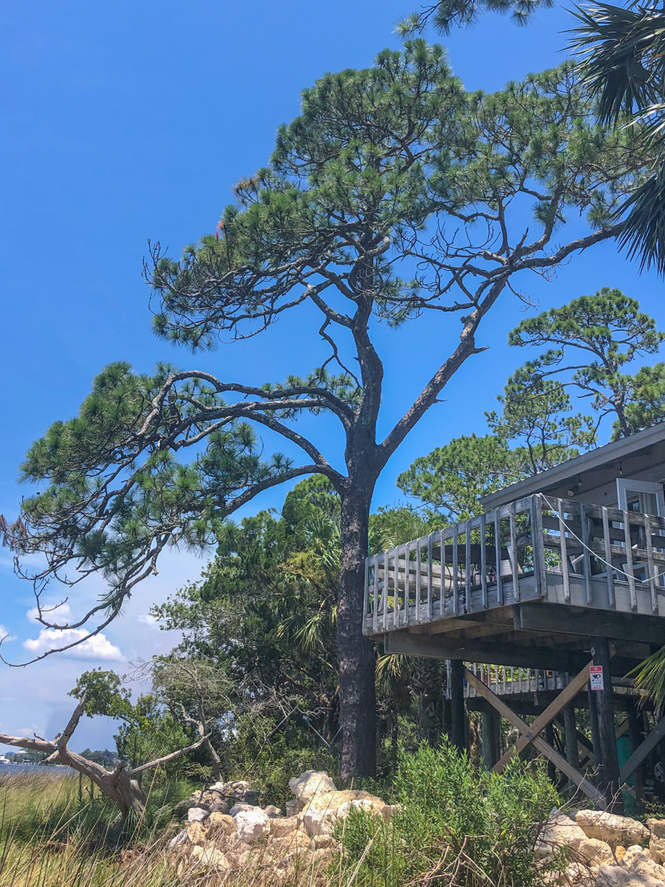 Notice the branch structure of this coastal pine. It has survived numerous hurricanes and tropical storms and has formed branches that distribute the wind load throughout the tree.