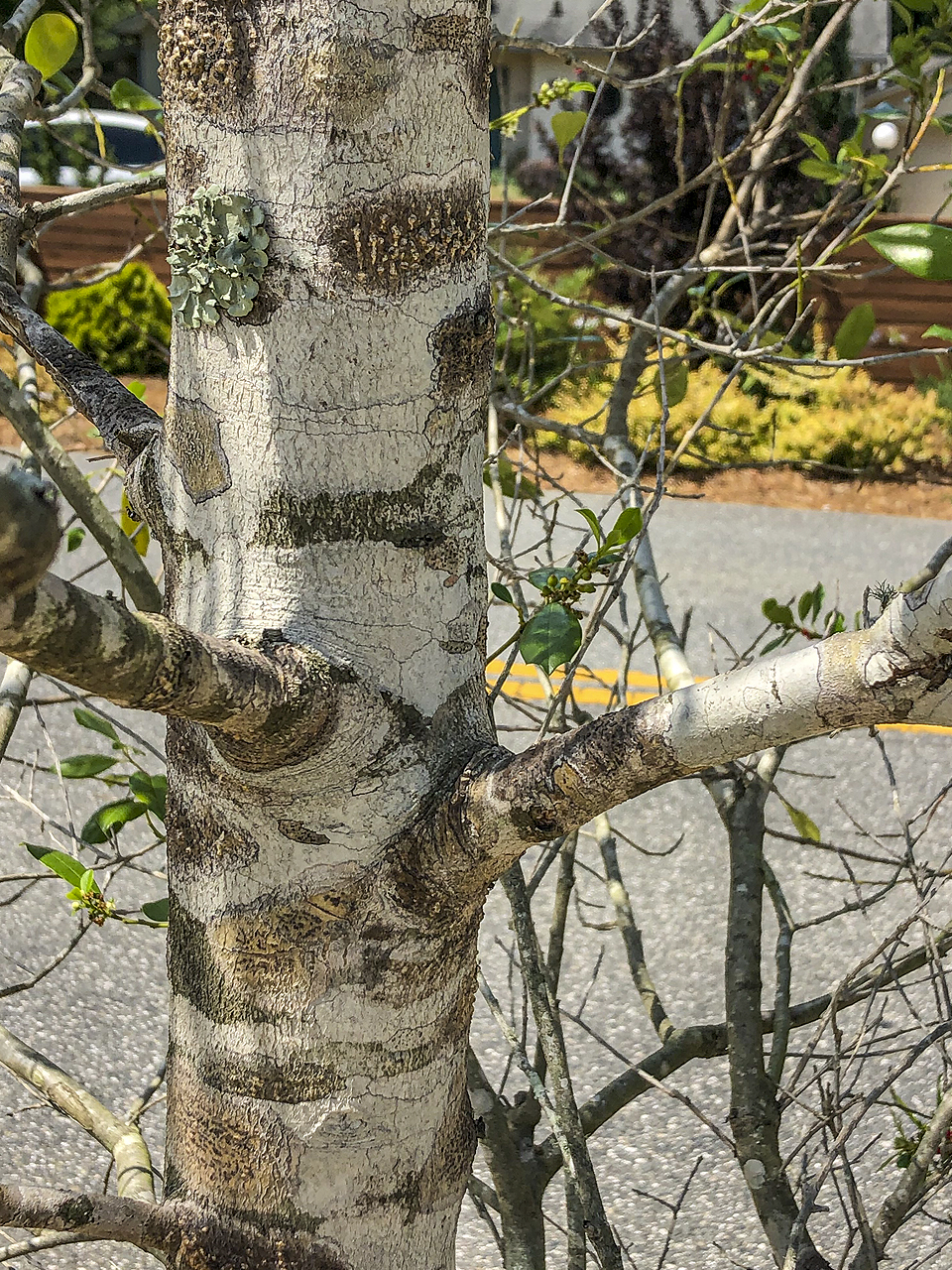 This branch angle is well formed, allowing  plenty of space for both the trunk and branch to expand.