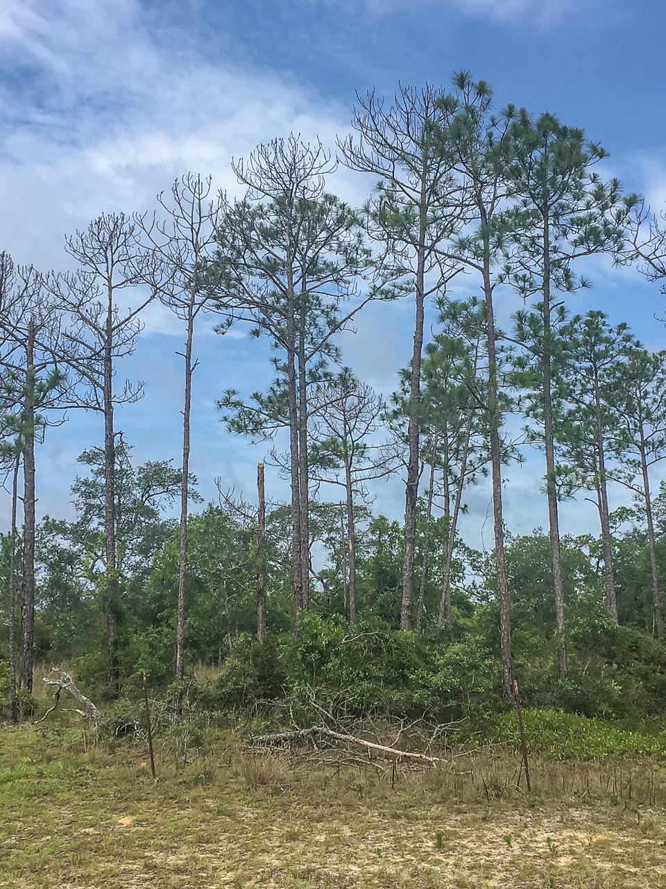 These pines grew tall and straight with most of the branches toward the top where they would receive the most sunlight. Trees with this type of structure may be very vulnerable to high winds, and some of these trees may have died due to hurricane damage.