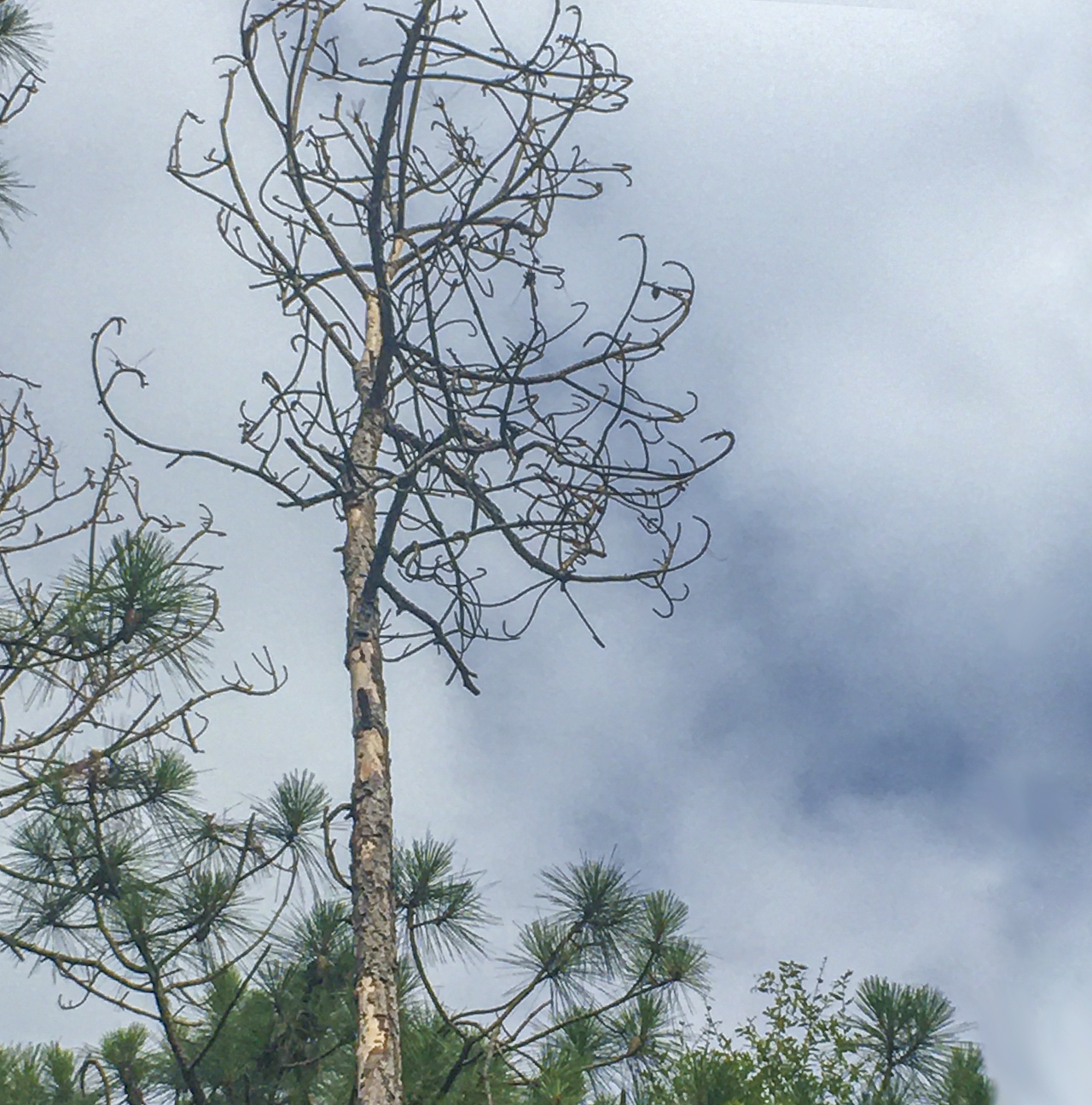 This pine near Lake Talquin began browning a few months after Hurricane Michael and is now completely dead. Removing dead and declining pines is important, because they can be an attractant to pine beetles.