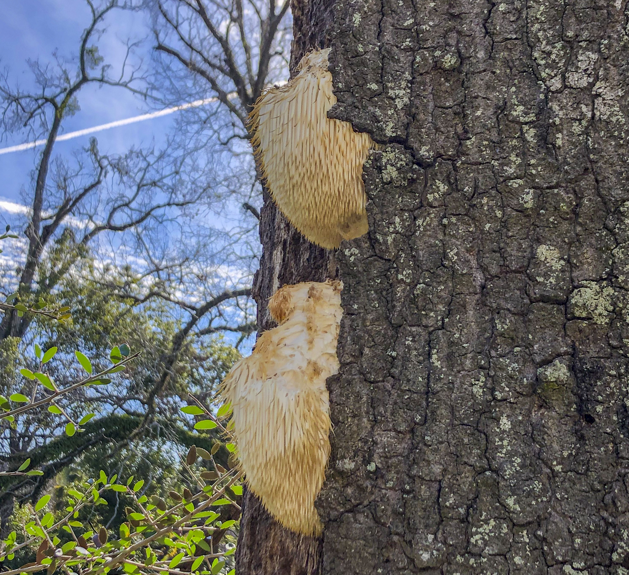 This lion's mane fungus tends to be associated with decay in trees.