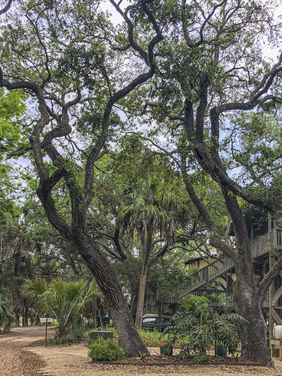 These sand live oaks have grown in a grove configuration and have naturally grown in the direction where each of them can access the most sunlight. Note the curvature of the trunk as it leans out, and then grows more upright.